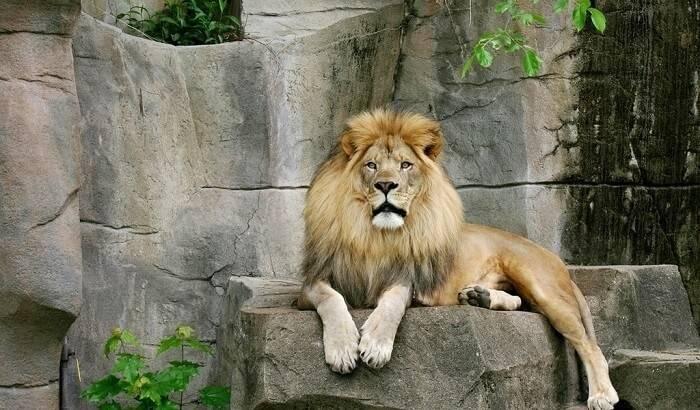 Продолжительность жизни льва