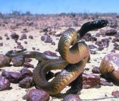 Самые опасные змеи австралии