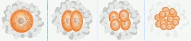 Особенности образования половых клеток