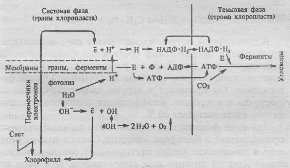 Сущность и значение фотосинтеза