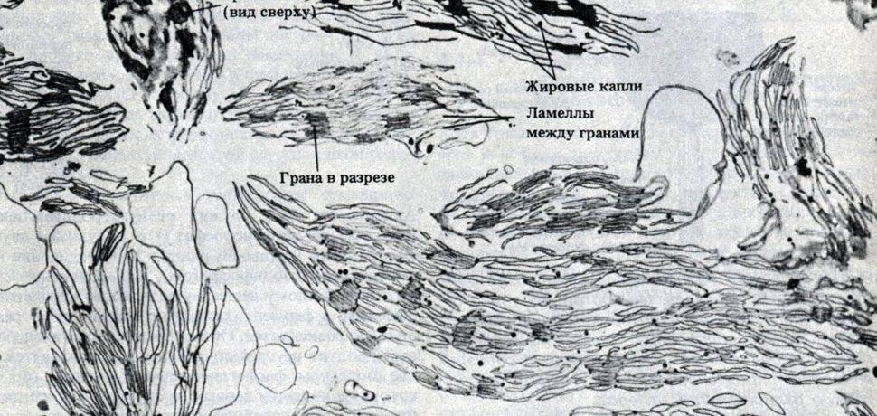 Световая фаза фотосинтеза происходит на мембранах