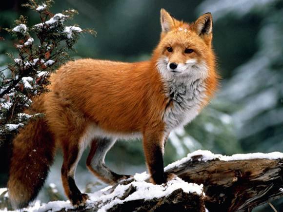 Что ест лиса в лесу