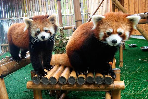 К какому семейству относится панда