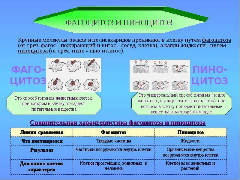 Открытие фагоцитоза