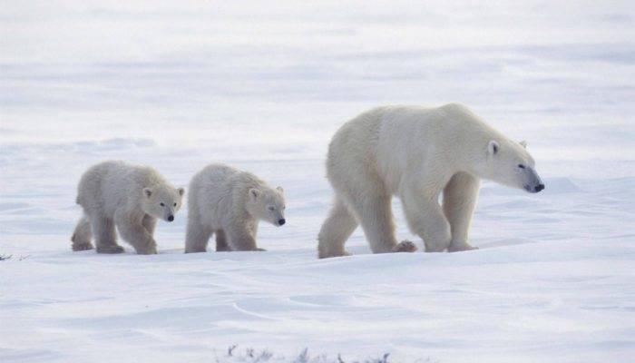 Чем питаются белые медведи на северном полюсе