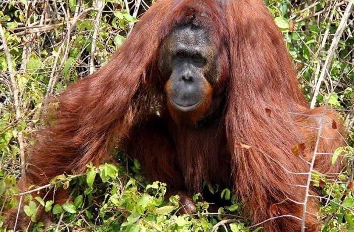 Орангутанг фото животного