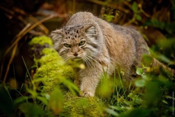 Плоскомордые кошки