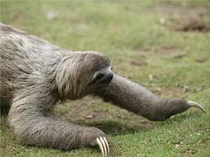 Где живет ленивец материк