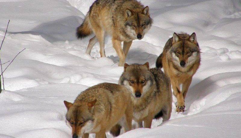 Волк вожак