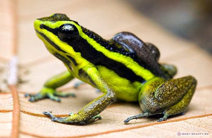 Тропическая жаба