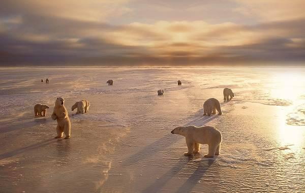 Северный медведь фото