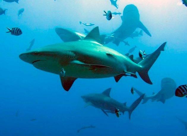Тупорылая акула фото