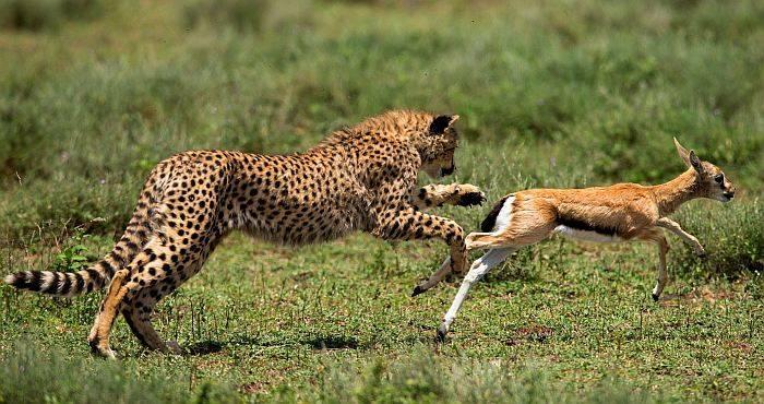 Макс скорость гепарда