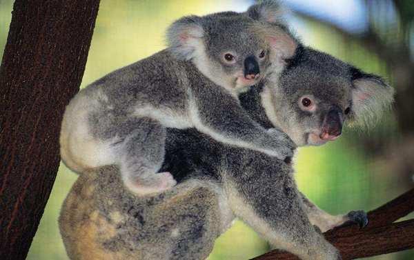 Как выглядит коала