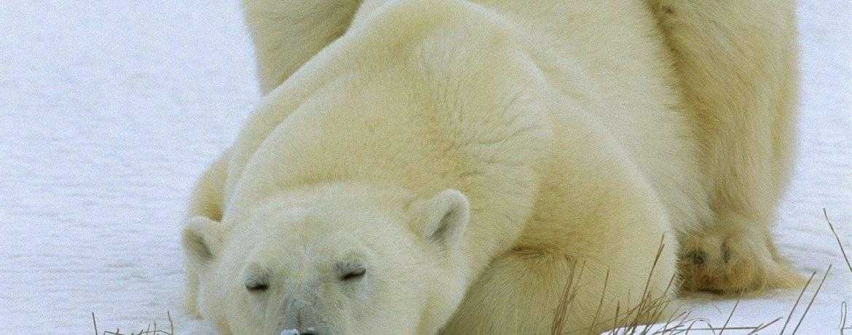 Средний вес белого медведя