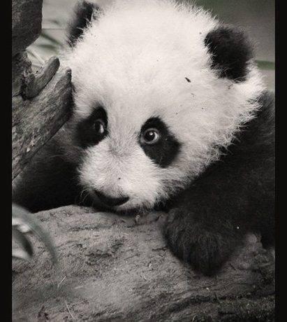 Какая организация имеет эмблему с изображением панды
