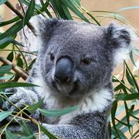 Какие звуки издает коала