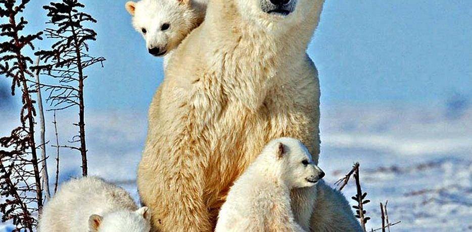 Жизнь белых медведей