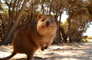 Травоядное сумчатое обитающее в австралии