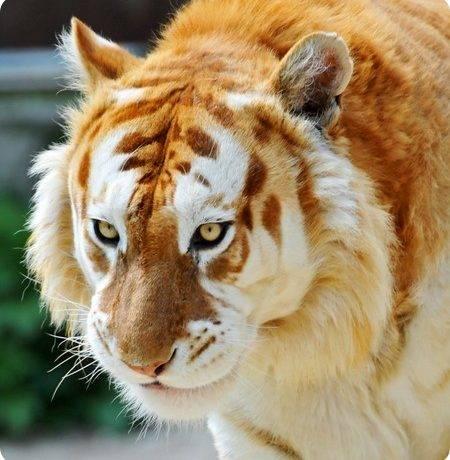 Вымирающий вид тигров
