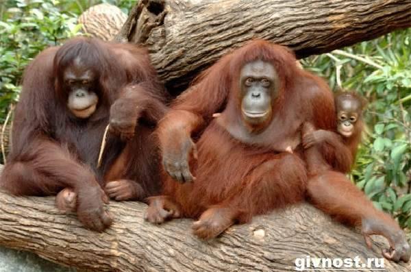 Сообщение о орангутанге