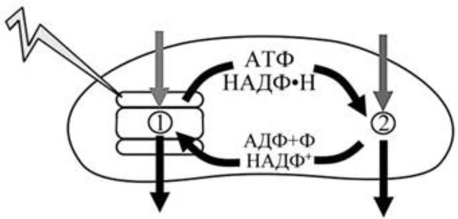 Фотосинтез происходит в клетках организмов имеющих