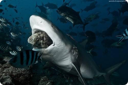 Бычья акула фото