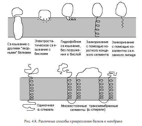 Функции белков мембраны