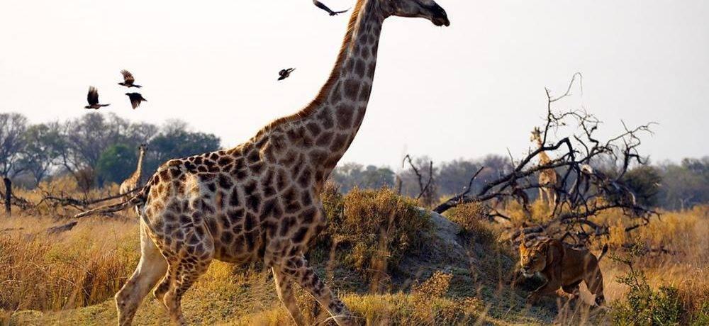Интересные факты про жирафа