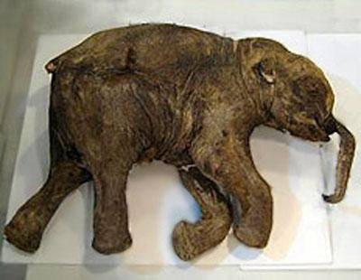 Фото мамонта из ледникового периода
