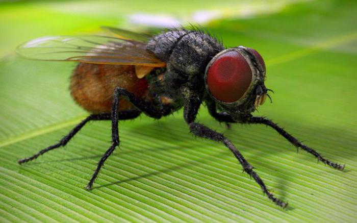 Чем питается муха