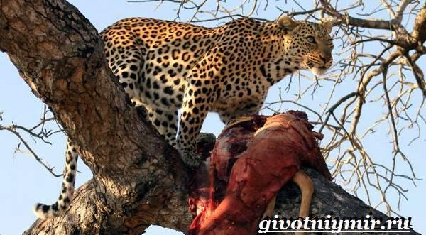 Ягуар хищник