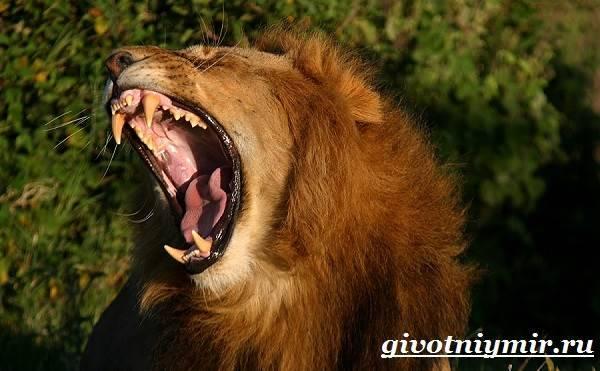 Самка льва