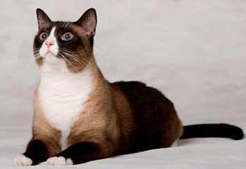 Тайская кошка продолжительность жизни