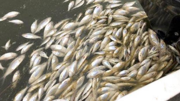 Массовая гибель рыбы