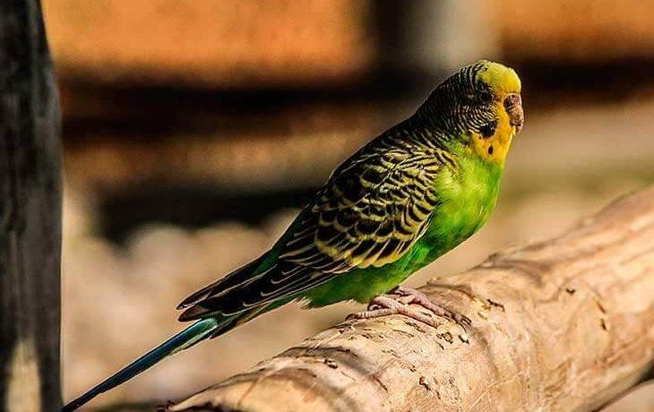 Сколько в среднем живут волнистые попугаи