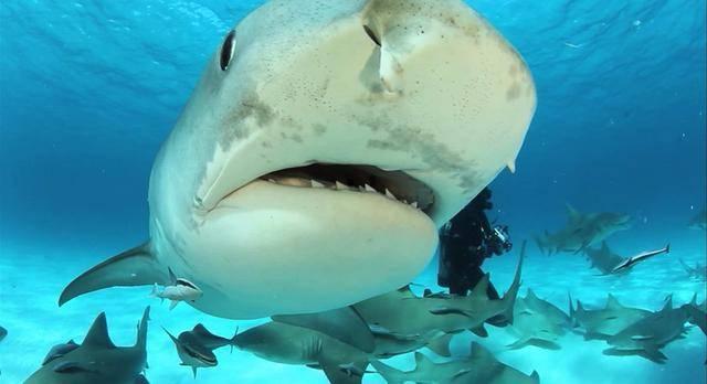 Акула это рыба или зверь