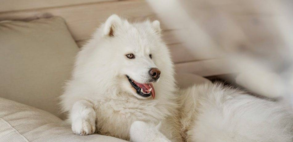 Белая пушистая собака порода самоед