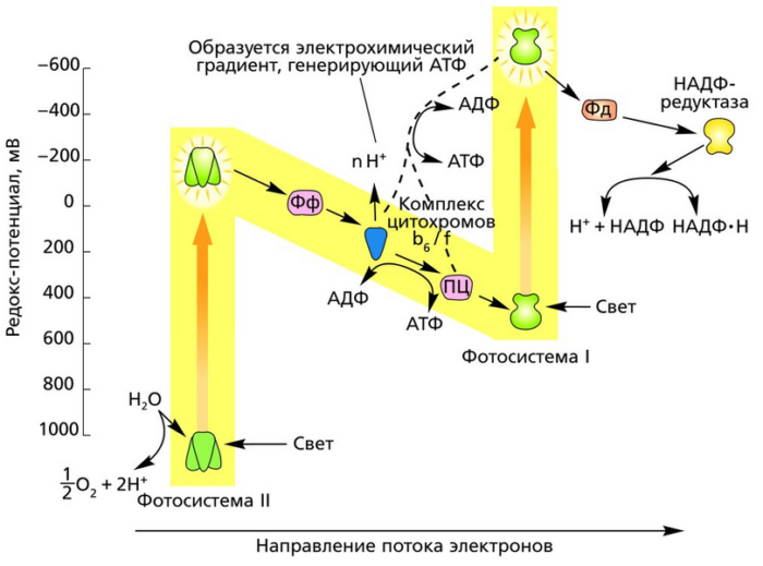 В процессе фотосинтеза поглощается