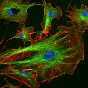 Функции цитоскелета в клетке