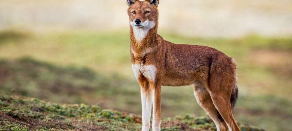 Красный волк краткое описание для детей