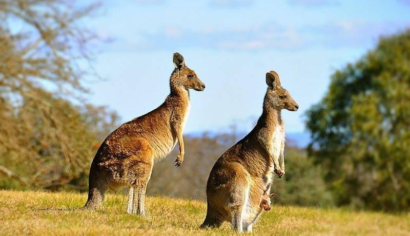 Сумчатые животные австралии фото