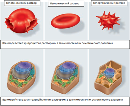 Каков характерный средний размер тканевых клеток человека
