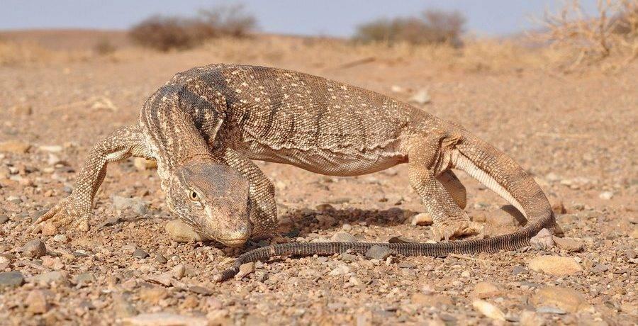 Редкие животные пустыни