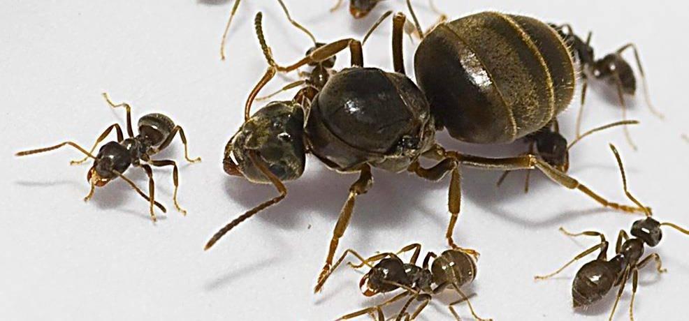 Из чего состоят муравьи