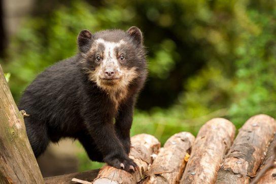 Очкастый медведь