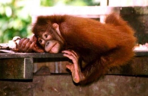 От каких обезьян произошли человекообразные