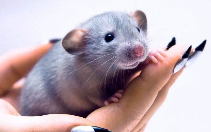 Как выглядит крыса