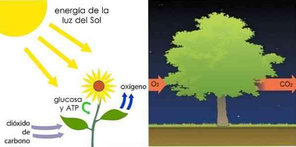 В каких клетках происходит фотосинтез и дыхание