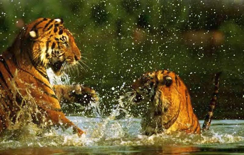 Где живут тигры в природе